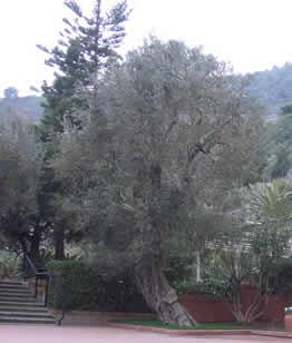 Arasce (Alassio) olivo