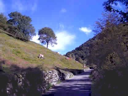 Alpe di Crezzo: bovini al pascolo